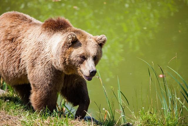 Bear, Bavarian Bear, Wild, Brown Bear, Animal Portrait