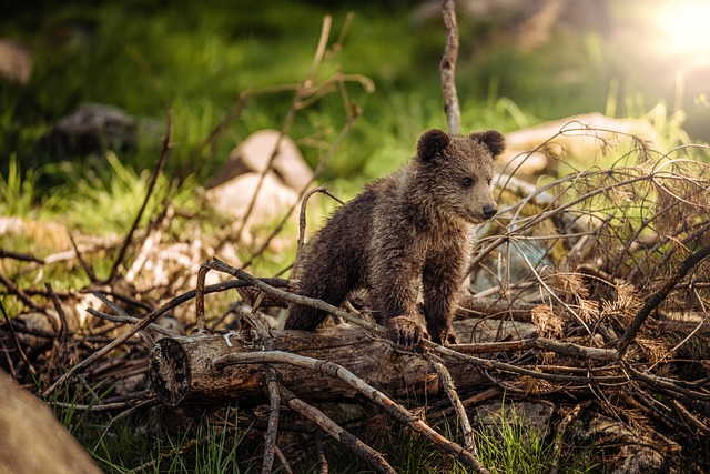 Bear Cub, Bear, Nature, Animals, Omnivores, Brown Bear