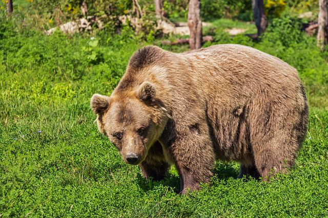 Bear, Brown Bear, Animal, Mammal, Beast, Hairy, Nature