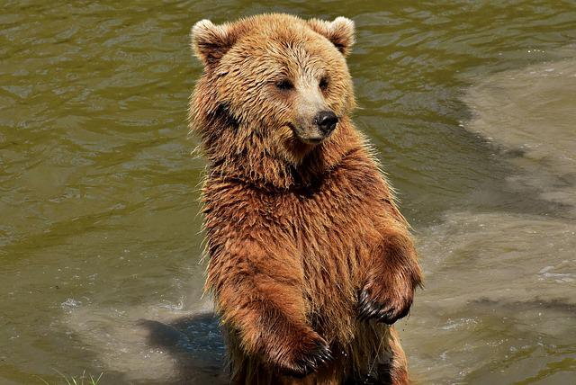 European Brown Bear, Brown Bear, Nature Park