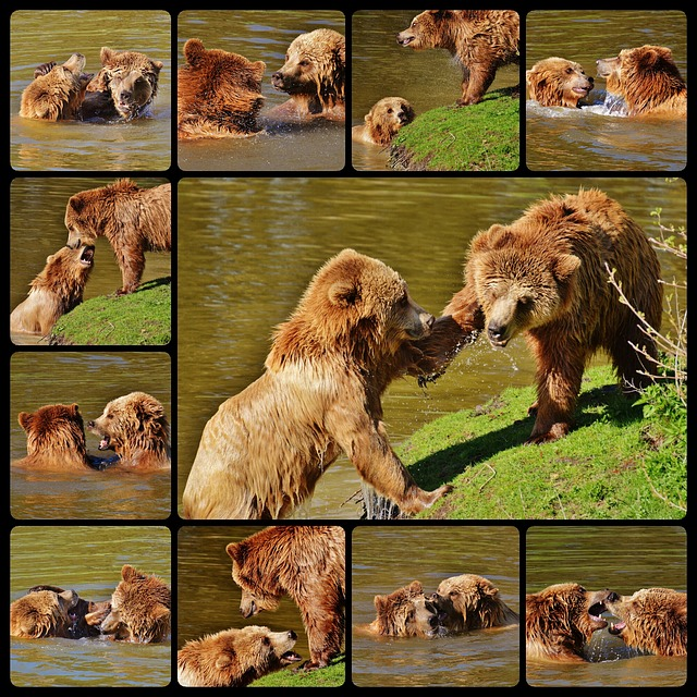 Bear, Wildpark Poing, Play, Collage, Water, Brown Bear