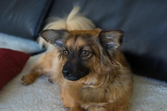 Chihuahua Mix, Dog, Bitch, Brown Beige, Cute, Small
