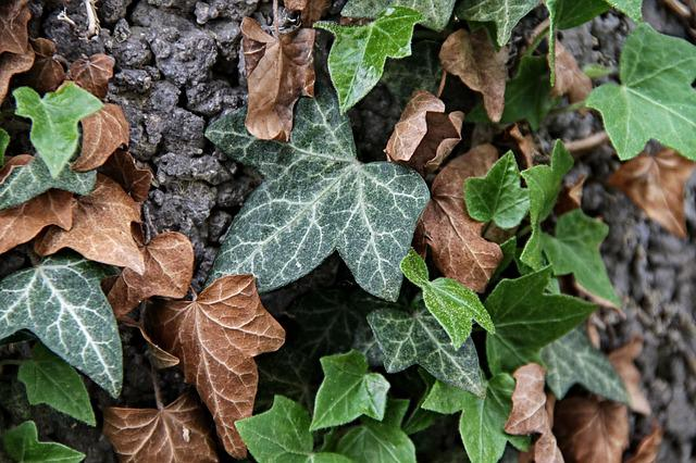 Ivy, Hedera Helix, Leaves, Green, Brown, Branches