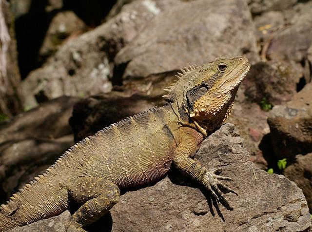 Eastern Water Dragon, Lizard, Reptile, Wild, Brown