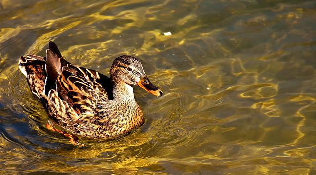 Mallard, Brown, Animal World, Plumage, Bill, Female