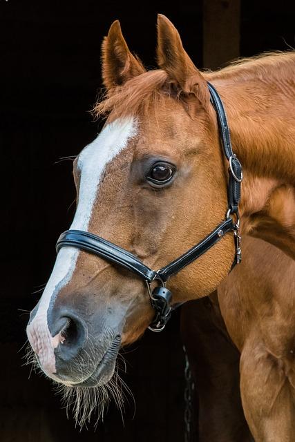 Horse, Head, Animal, Brown, Horse Head, Pferdeportrait