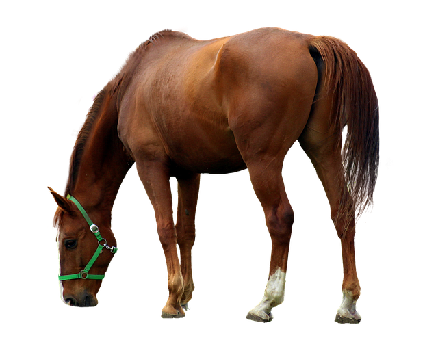 Horse, Isolated, Animal, Brown, Brown Horse, Mane, Ride