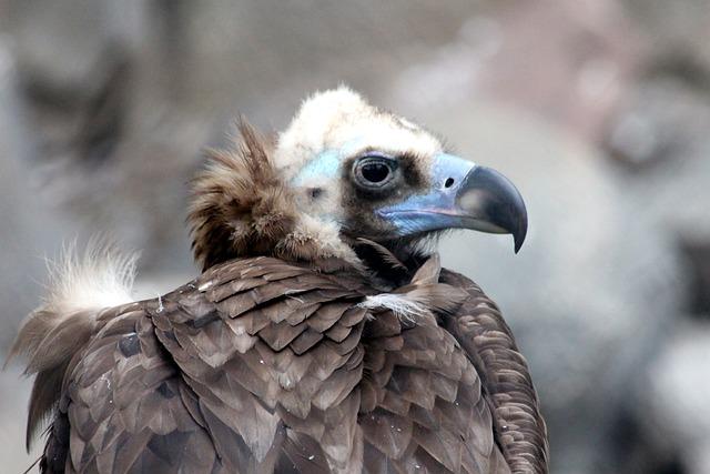Black Vulture, Brown Neck, Bird Of Prey