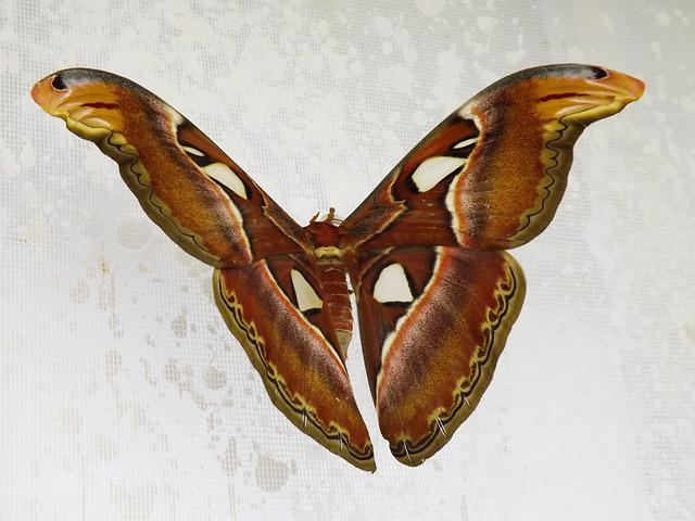 Butterfly, Attacus Atlas, Night, The Largest, Brown