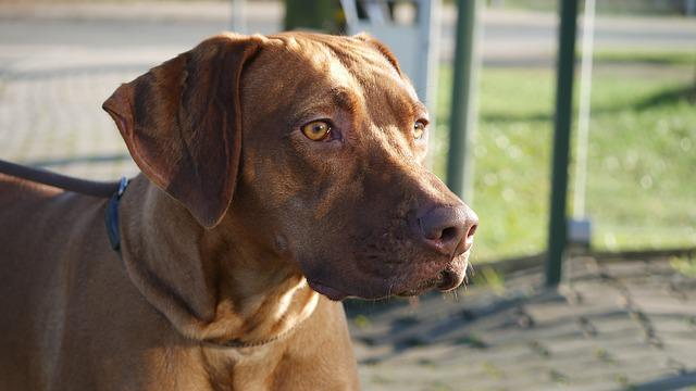 Rhodesian Ridgeback, Dog, Pet, Head, Brown, Race