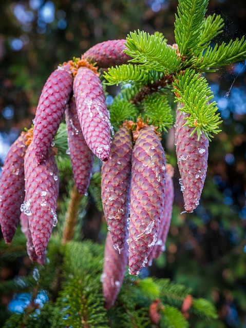 Pine Cones, Depend, Spring, Brown, Green, Nature