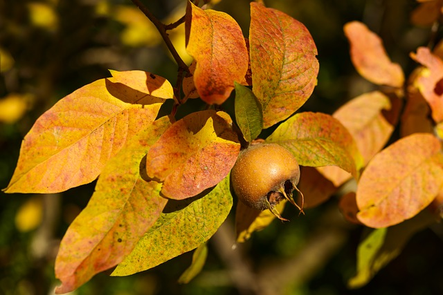Medlar, Fruit, Winter Fruit, Brown, Yellow, Seed, Mesle