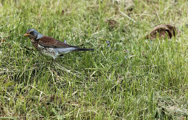 Fieldfare, Bird, Park, Spring, Square, Nature, Brown