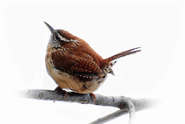Birds, Carolina Wren, Brown, Spring, Wildlife