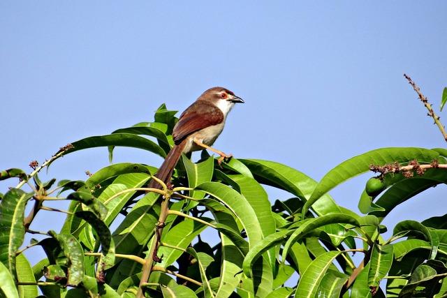Brown-shrike, Bird, Lanius-cristatus, India, Wildlife