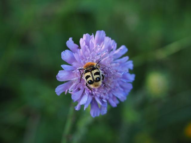Brush Beetle, Beetle, Insect, Banded Brush Beetle