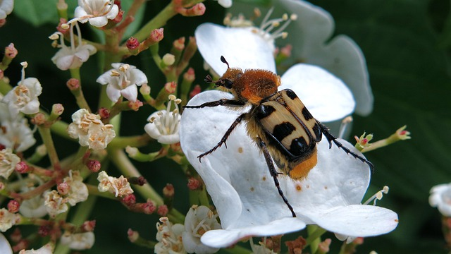 Brush Beetle, Banded Brush Beetle, Insect