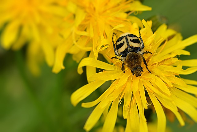 Beetle, Brush Beetle, Yellow, Meadow, Insect, Macro