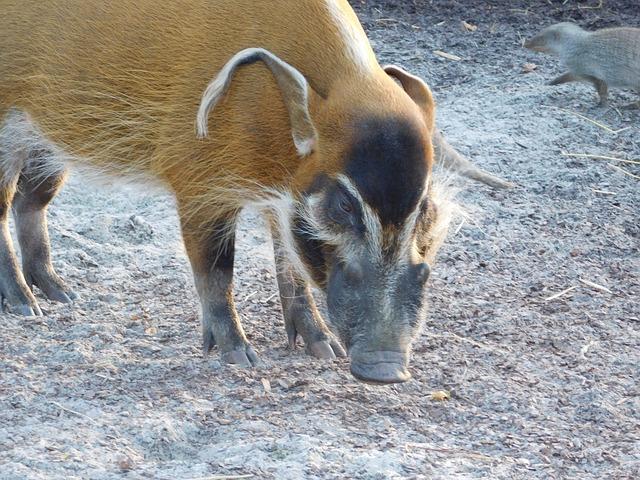 Brush Ear Pig, Zoo, Animal