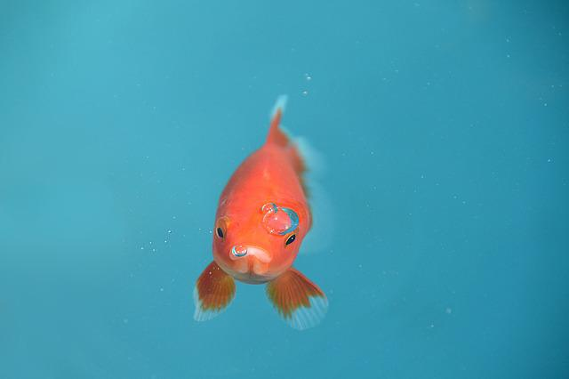 Fish, Goldfish, Red, Bubble