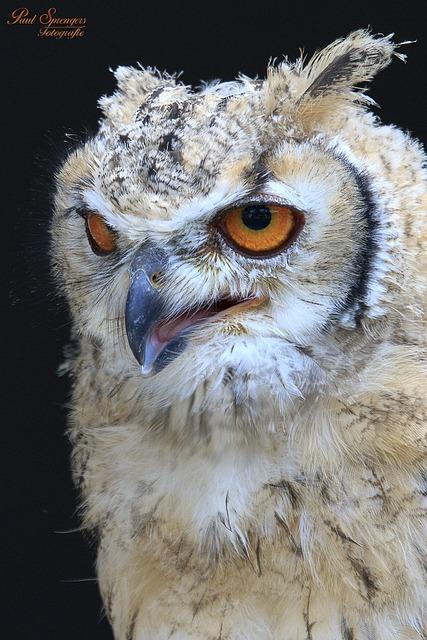 Bird Of Prey, Birds, Nature, Bubo Bubo, Owl, Bird