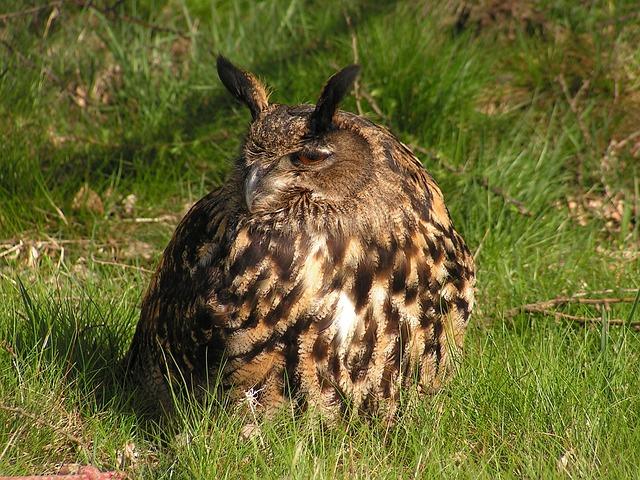 Eagle, Bubo Bubo, Owl, Large, Sitting