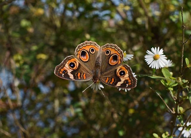 Buckeye Butterfly, Butterfly, Insect, Animal