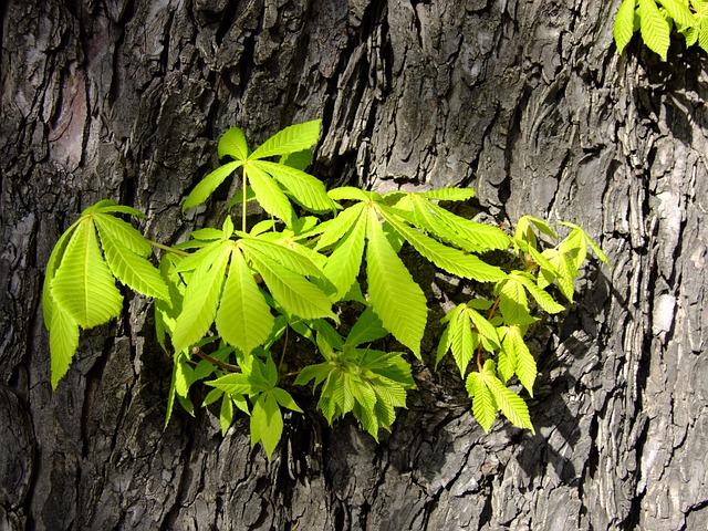 Buckeye, Leaves, Foliation, Chestnut, Tribe, Bark, Tree