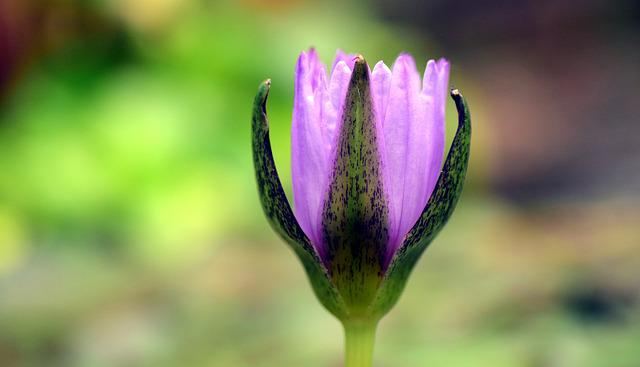 Water Lily, Bud, Bud Water Lily, Aquatic Plant, Nature