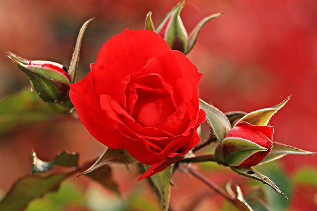 Rose, Red Rose, Garden Rose, Red, Bloom, Bud, Blossom