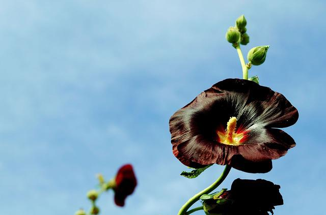 Stock Rose, Common Peony, Blossom, Bloom, Bud, Dark