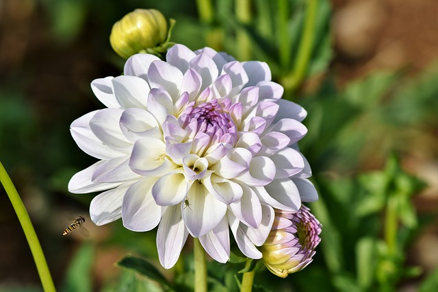 Dahlia, Dahlias Bud, Hover Fly, Insect, Flower, Bud