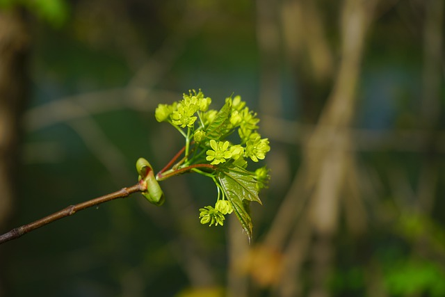 Bud, Maple Branch, Branch, Maple, Go Up, Fresh, Young