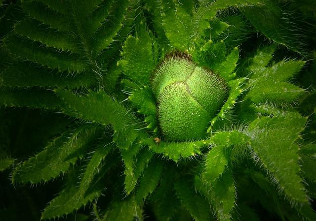 Bud, Plant, Poppy, Ornamental Plant, Green, Flora