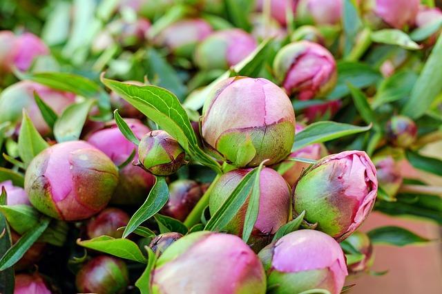 Peony, Flower, Blossom, Bloom, Pink, Bud, Market