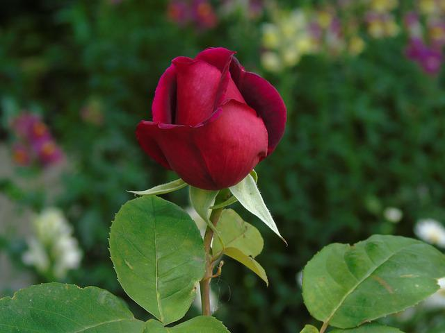 Rose, Bud, Red