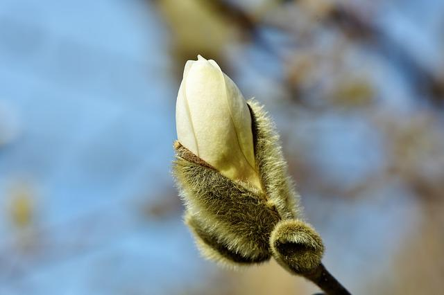Magnolia, Bud, Spring Sunshine, Bush, Tree