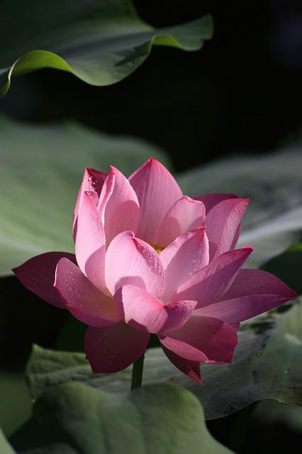 Lotus, Pink, Red, Plant, Flowers And Plants, Buddhism
