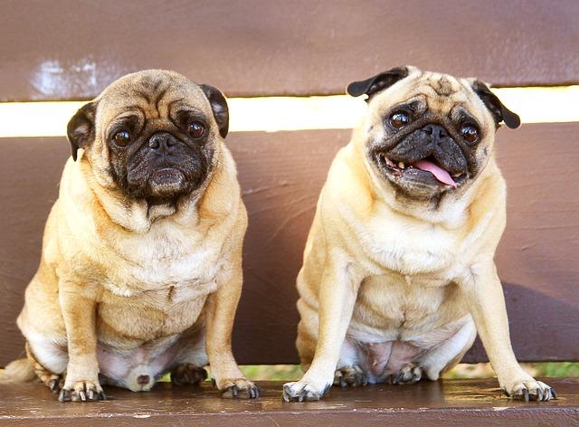 Pugs, Bench, Sitting, Buddies, Pet, Dog, Canine