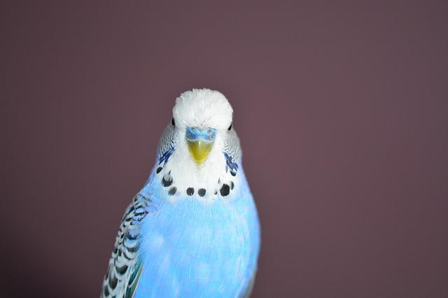 Budgie, Blue, Bird, Parakeets, Pets, Animal World