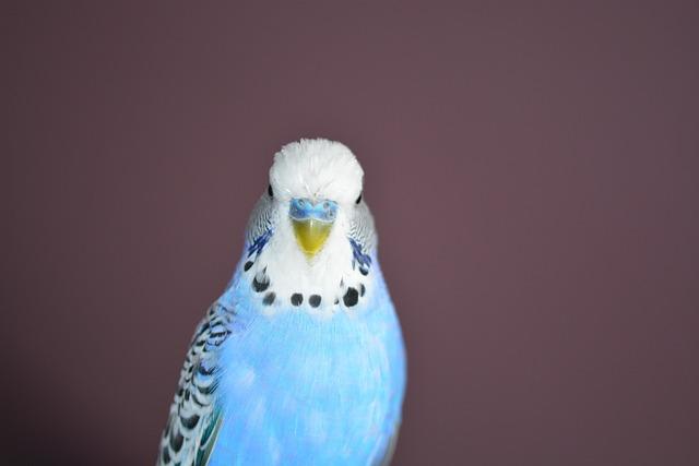 Budgie, Blue, Bird, Parakeets, Pets, Animal World
