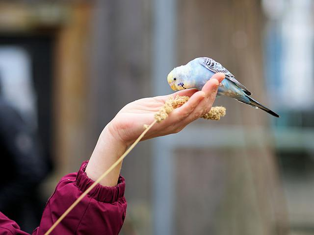 Hand, Budgie, Feeding, Food, Plumage, Animal World