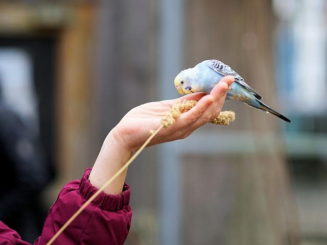 Hand, Budgie, Feeding, Food, Plumage, Animal World