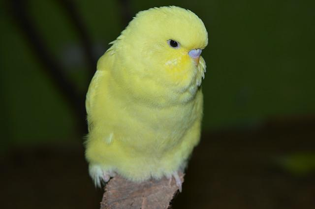 Budgie, Ziervogel, Yellow
