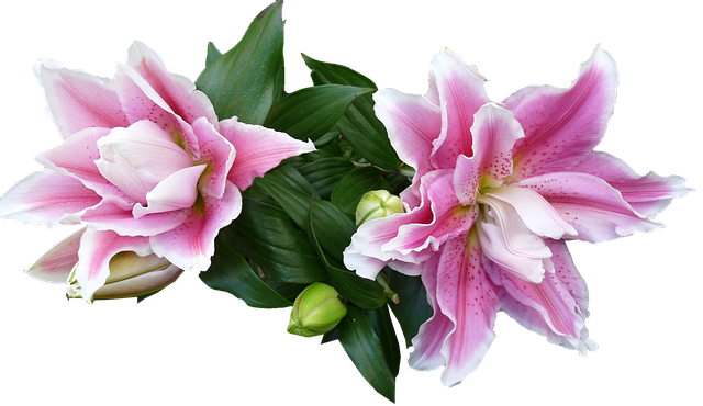 Lily, Flowers, Buds, Blooming