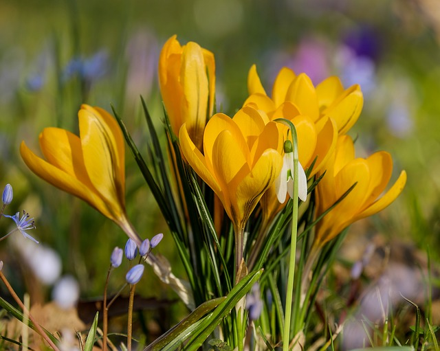 Crocus, Flower, Bühen, Yellow, Plant, Spring Flower
