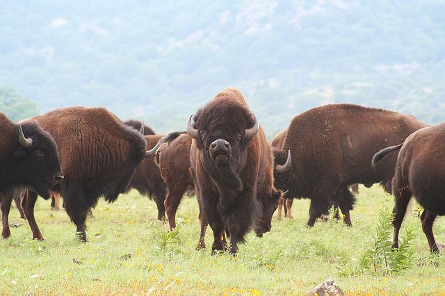 Buffalo, Oklahoma, Bison, American, Wild, West, Native