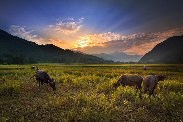 Free Photo Buffalo On The Rice Field Background Nice Green