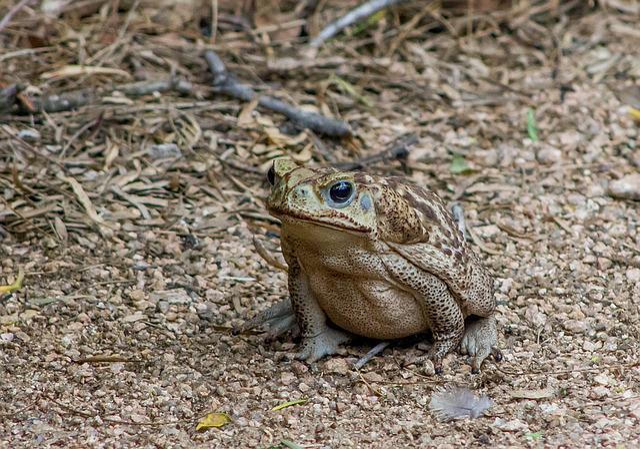 Cane Toad, Amphibian, Animal, Wildlife, Nature, Bufo