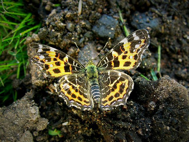 Butterfly, Insect, Bug, Garden, Nature, Brown, Yellow